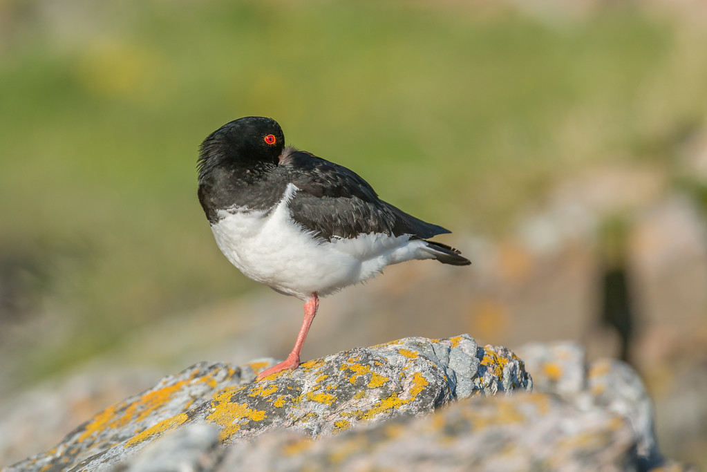 sleeping Oystercatcher