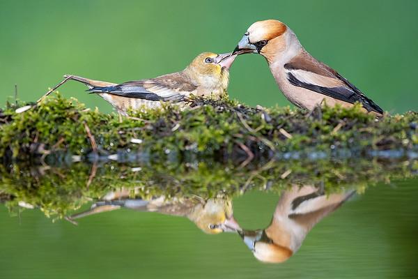Kernbeisser füttert Jungvogel