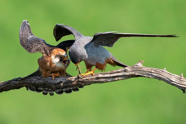 Rotfussfalkenweibchen und Männchen