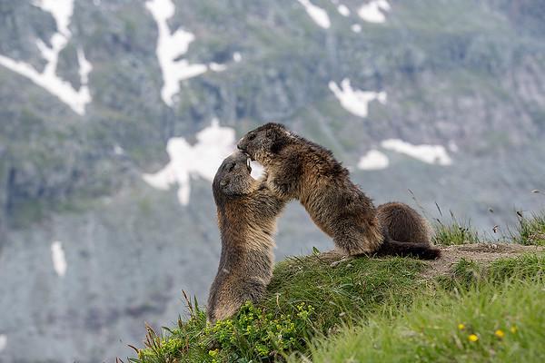 Zwei Murmeltiere im Kampf