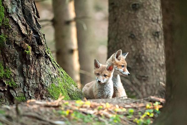 Junge Rotfüchse im Wald