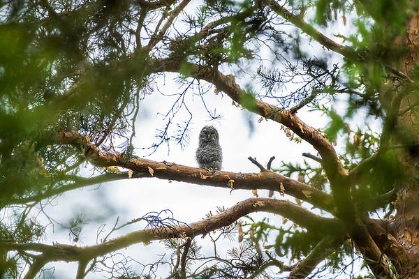 Waldkauz juvenil am Baum