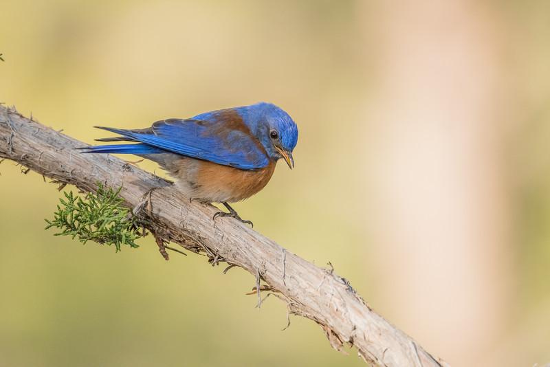 Błękitnik meksykański (Sialia mexicana)