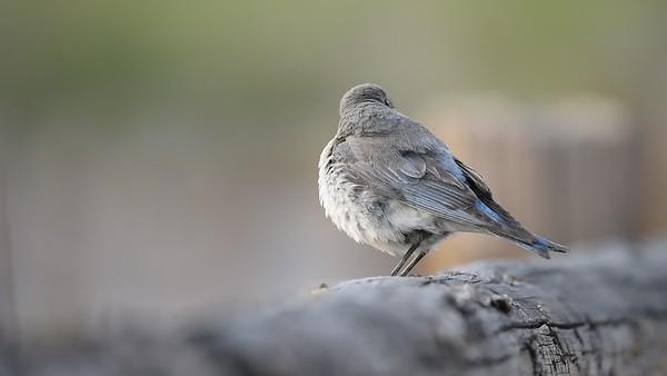 Błękitnik górski (Sialia currucoides)