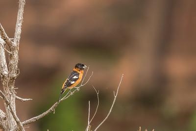 Łuszcz czarnogłowy (Pheucticus melanocephalus)