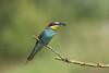 żołna (Merops apiaster)