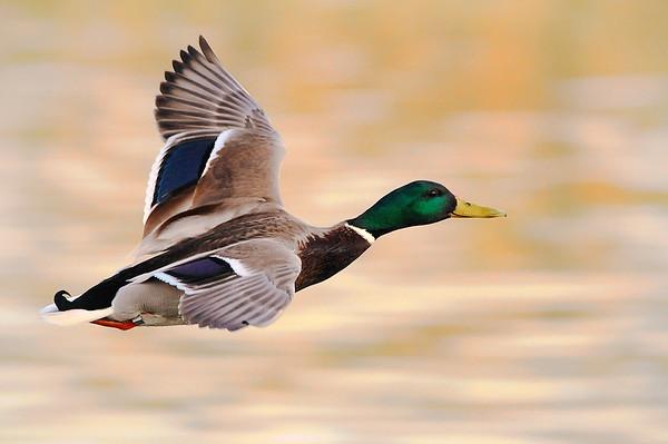 Fliegende Ente_v1_3600px