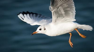 Seagull | Möwe