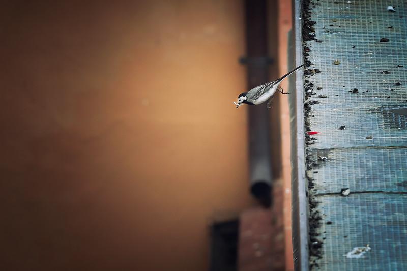 Wagtail | Bachstelze