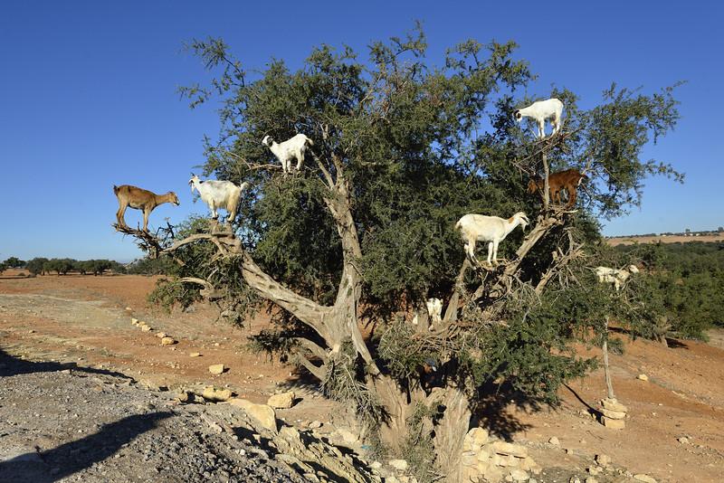Argan-Baum auf dem Weg nach Essauira