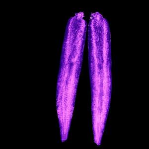 Möhre - UV Licht