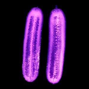 Gurke - UV Licht