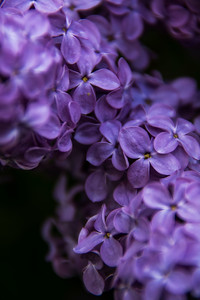140528-lilac-0029