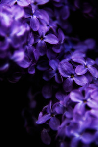 140528-lilac-0029A