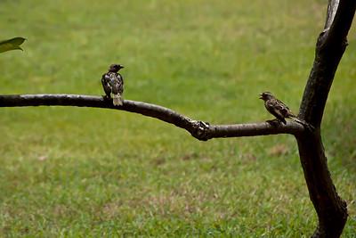 Oiseaux à Varadero, Cuba.