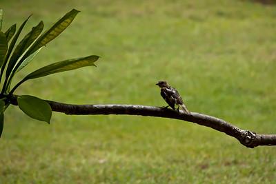 Oiseau à Varadero, Cuba.