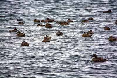 Canards sur l'océan Atlantique.
