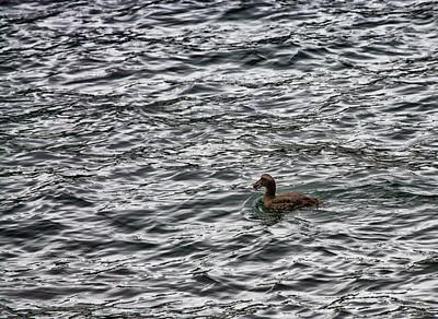 Canard sur l'océan Atlantique.