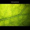 Chlorophyllium