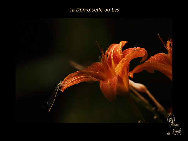 La Demoiselle au Lys
