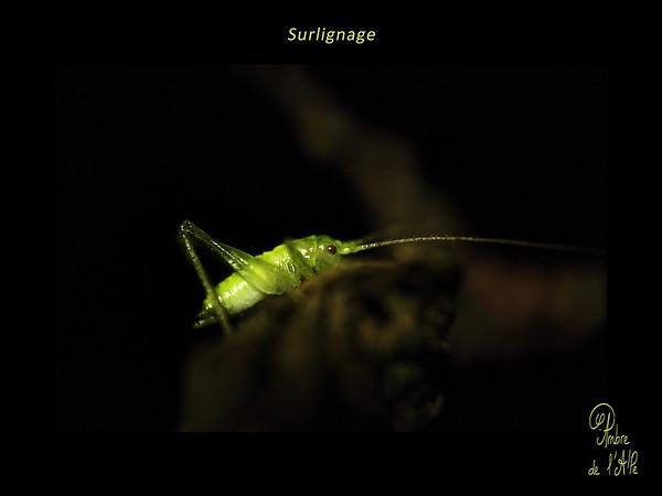 Surlignage