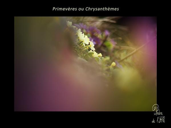 Primevères... ou Chrysanthèmes