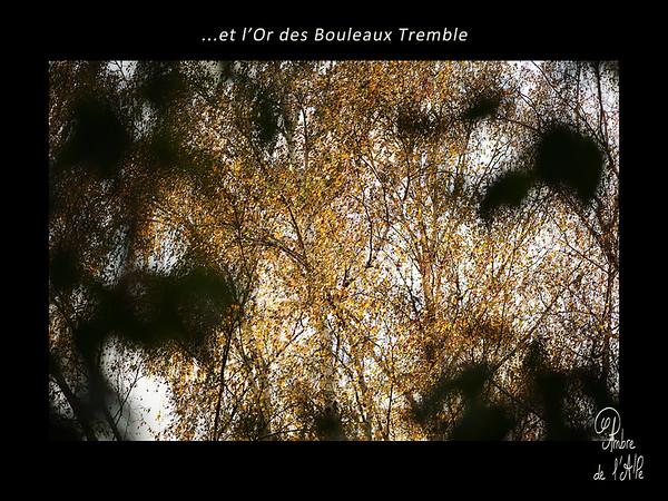 ...et l'Or des Bouleaux Tremble.