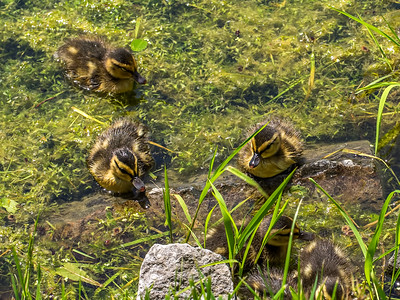 Canards noirs (canetons)
