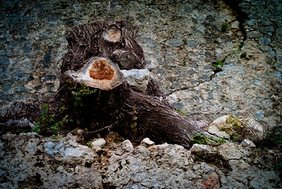 Dead root in Saint-Paul, France, French Riviera.