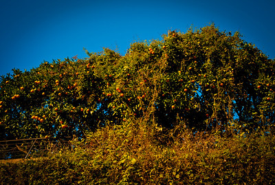Orange tree near Saint-Paul, France, French Riviera.