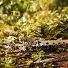Couleuvre à collier (Natrix Natrix)