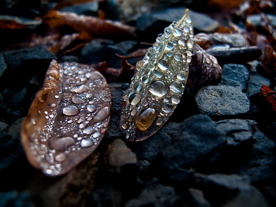 Hydrophobic Effect. Droplets of water covering leaves on the ground in Gorges du Cians, France