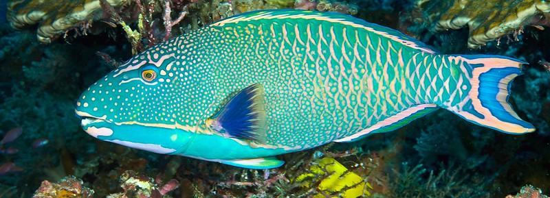 ParrotFish2