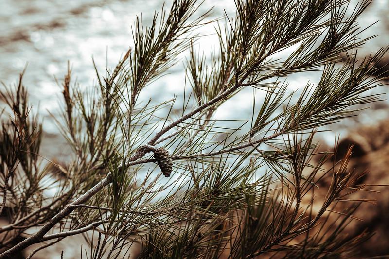 le pin et la mer | pine trees and the sea