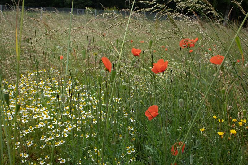 le pré des fleurs sauvages | the meadow of wild flowers
