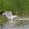 Fish stick - Goéland leucophée (Larus michahellis)