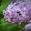 Lilas de mon jardin sous la pluie de Mai