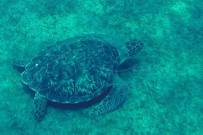 une tortue de mer dans la réserve Jacques Cousteau | a sea turtle