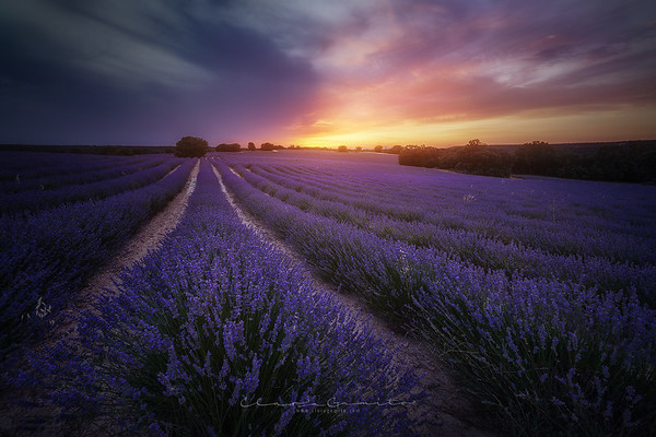 19/52 - Purple Fields