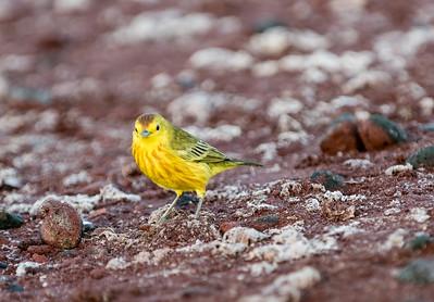 Yellow Warbler I believe