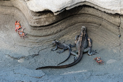 Iguanas and Sally Lightfoot Crabs