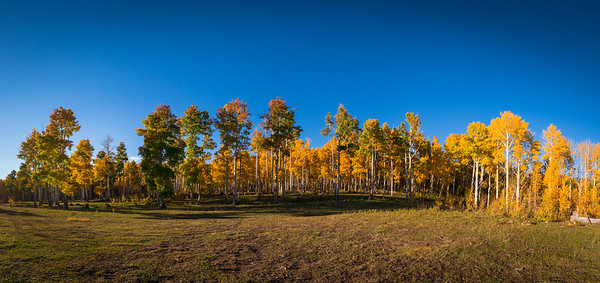 One of the oldest aspen tree groves in Colorado