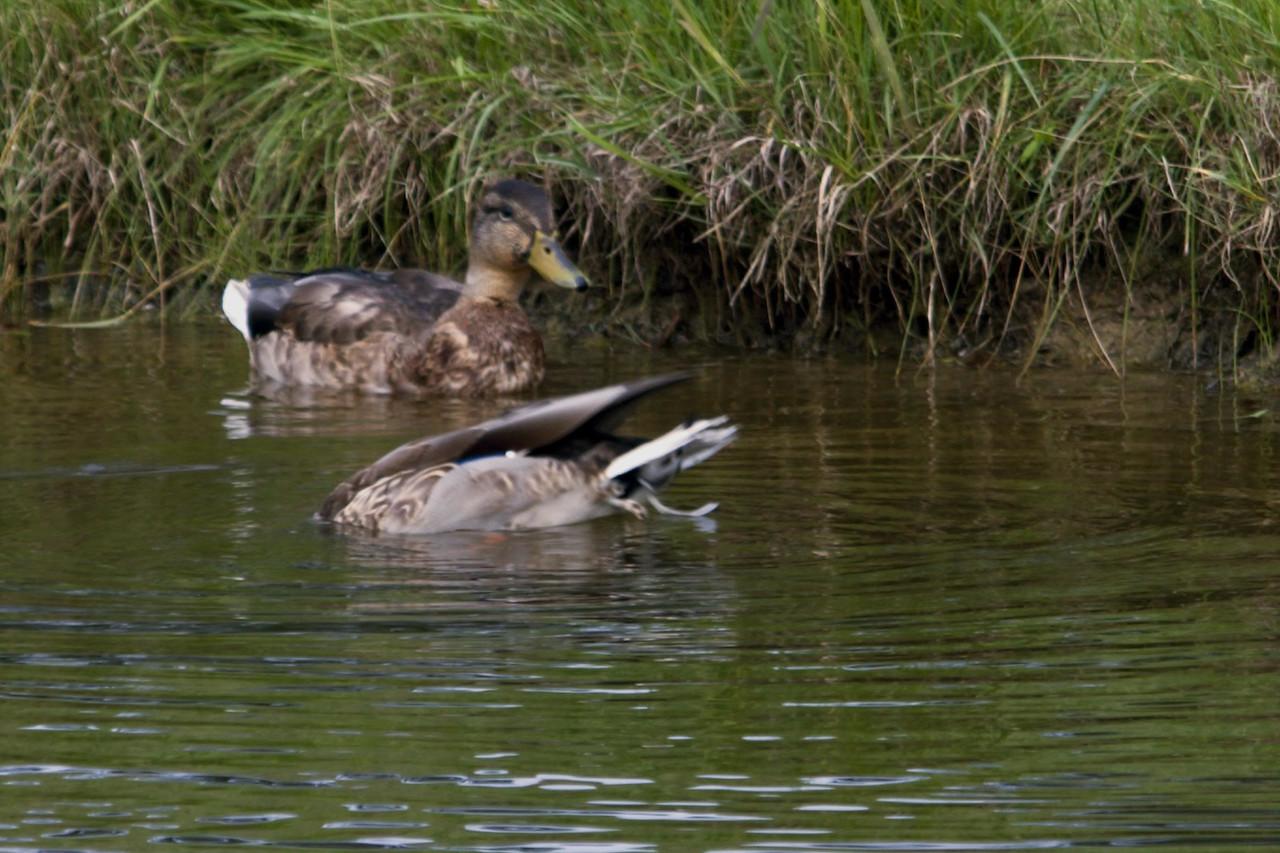 20061107 Ducks 0025