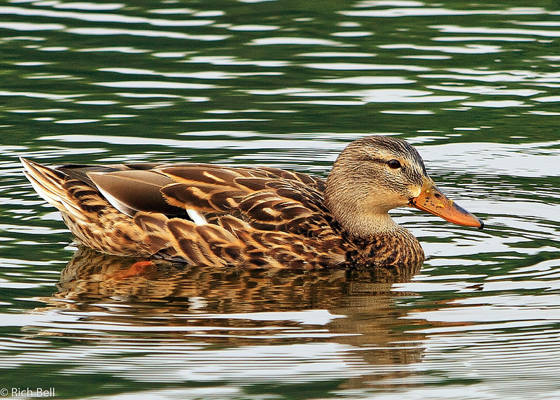 20061107 Ducks 0007
