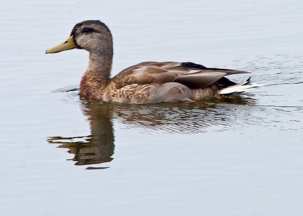 20061107 Ducks 0012