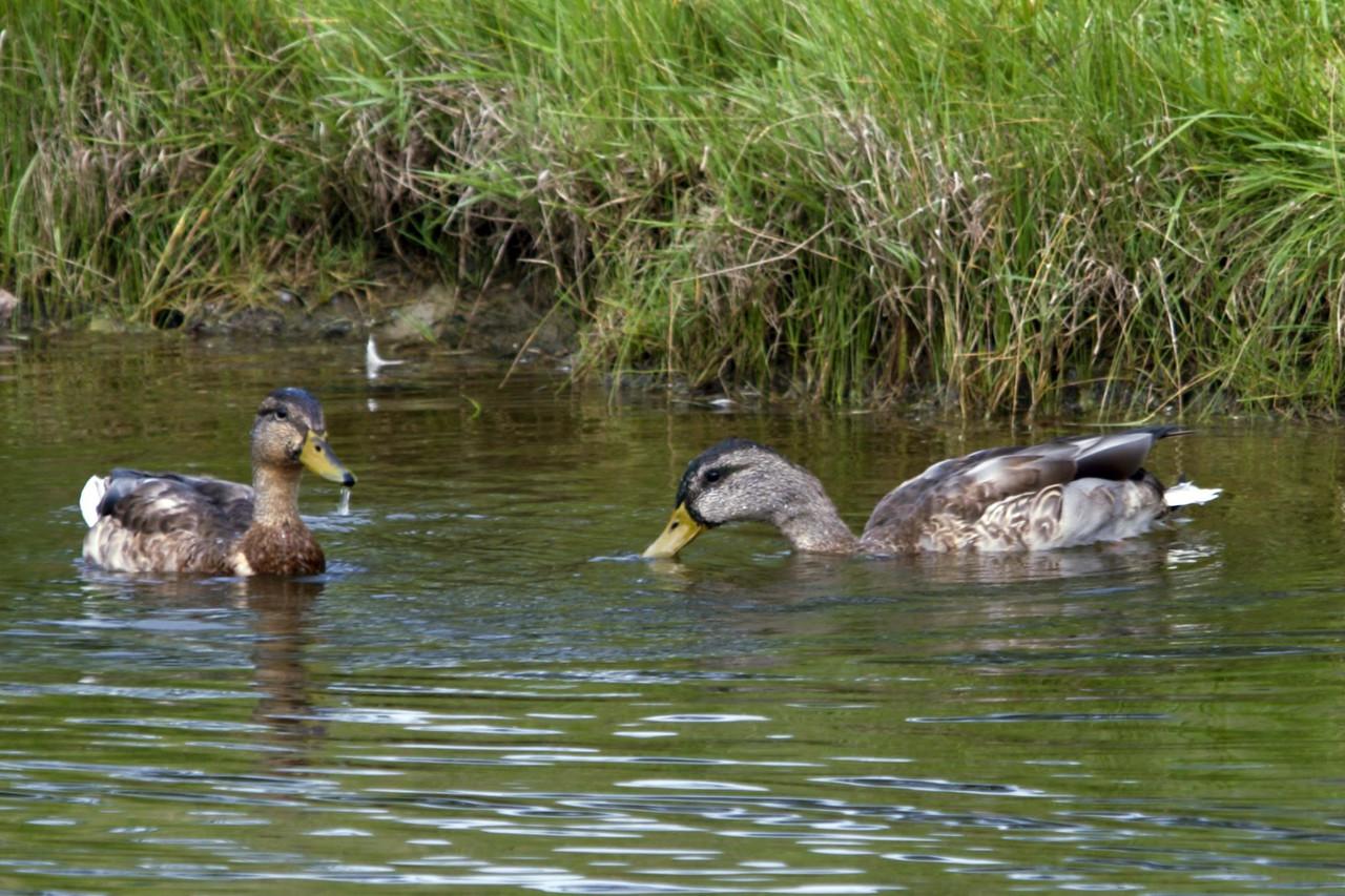 20061107 Ducks 0026