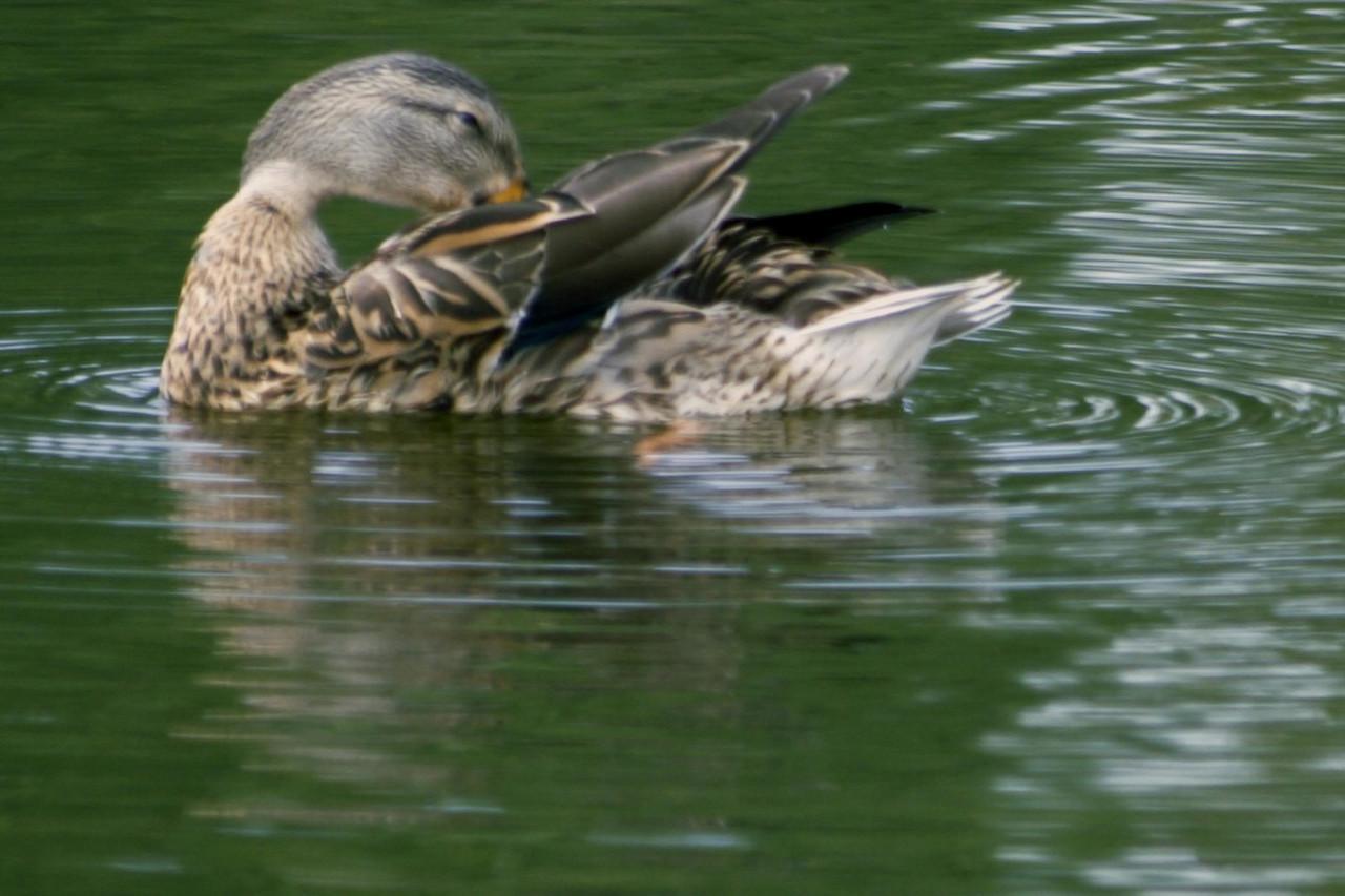 20061107 Ducks 0018