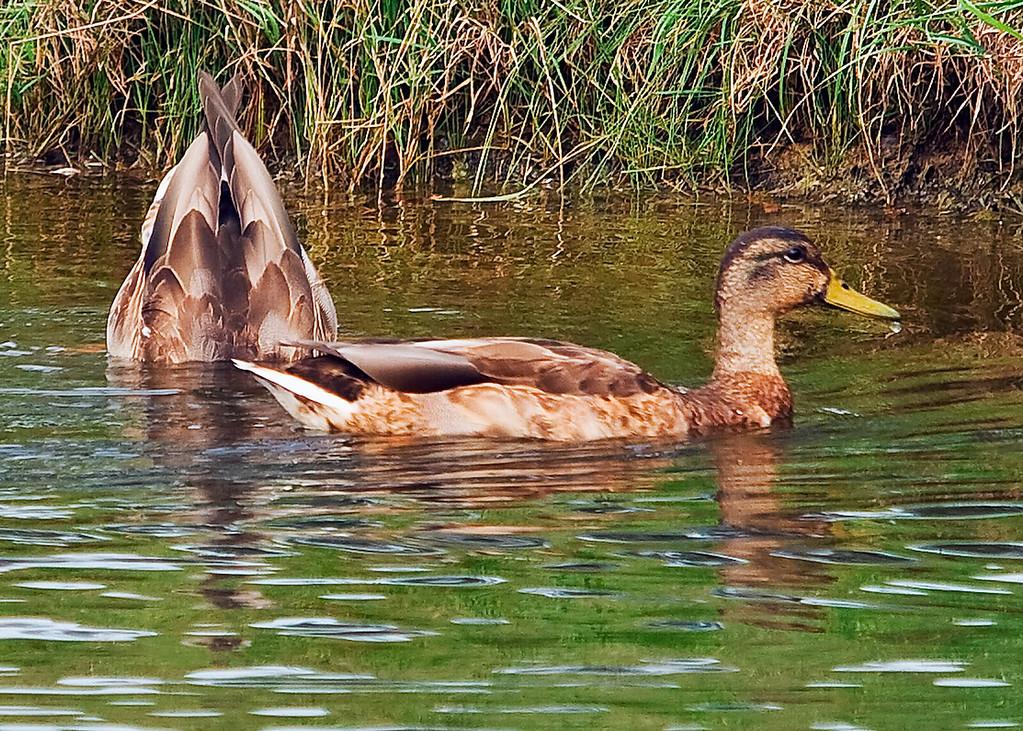 20061107 Ducks 0027