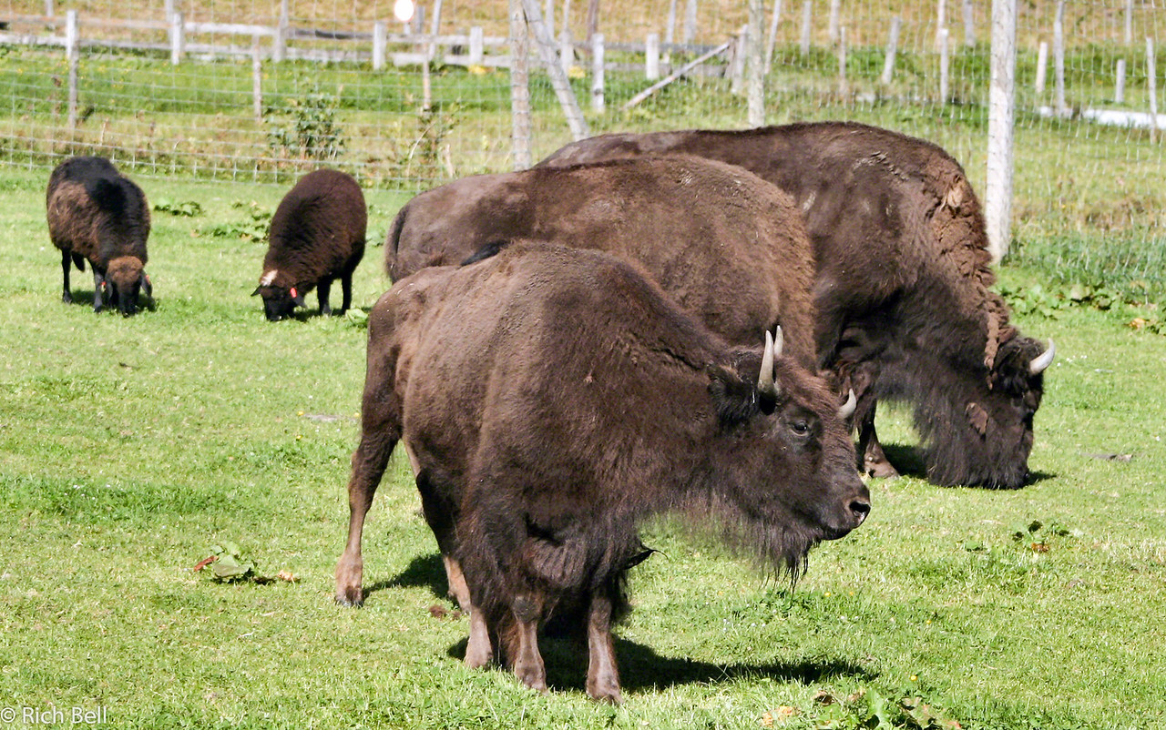 20040920Buffalos on Grossglockner Highway 20474