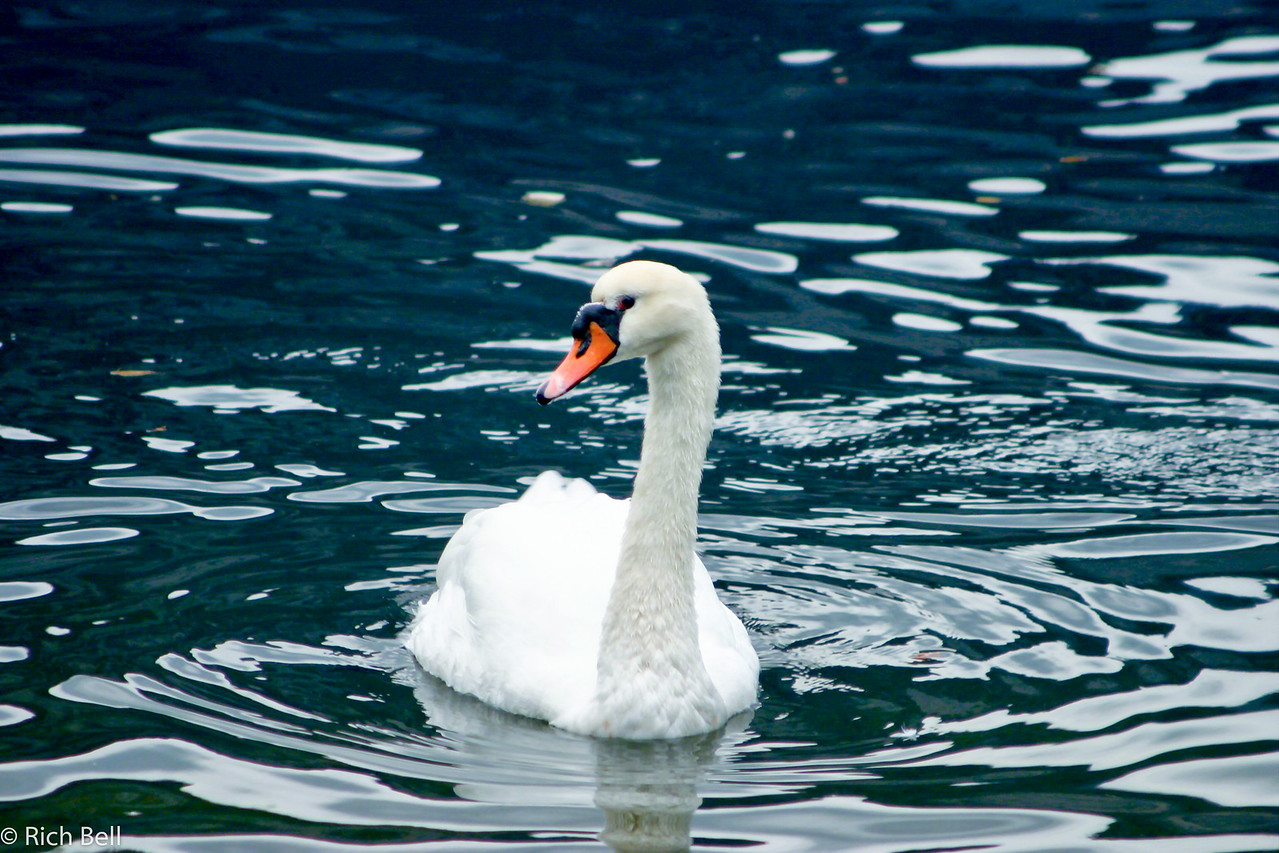 20040921Swan on Hallstatt Lake 20452